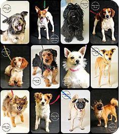 Minneapolis, MN - Beagle/Yorkie, Yorkshire Terrier Mix. Meet Small/Medium Dog Fosters Needed, a dog for adoption. http://www.adoptapet.com/pet/7178438-minneapolis-minnesota-beagle-mix