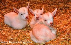 Thinking about getting goats - here's a beginning guide to goats!