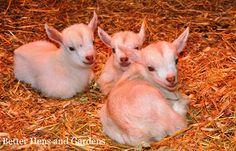 Beginning Guide to Goats Keeping Goats, Raising Goats, Zoo Animals, Cute Animals, Pigmy Goats, Goat Care, Nigerian Dwarf Goats, Goat Farming, Farming Life
