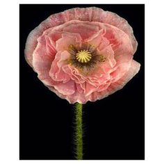 Beautiful 9 different colors of oriental poppy seed flowers potted 200PCS