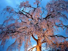 Cherry Blossoms in Spring Time, Japan  I always dream of taking a selfie shot under this tree. :]