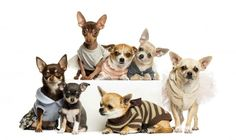 Dogs Many Chihuahua Animals wallpaper background