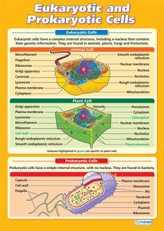 Eukaryotic and Prokaryotic Cells Poster