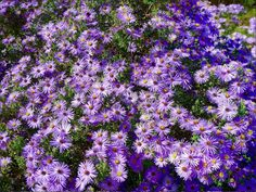 Plant of the Year 2016 |'Raydon's Favorite' Aster | Symphyotrichum oblongifolium var. angustatus 'Raydon's Favorite'  |  2-3' tall fragrant | dazzling bright blue-purple flower with a yellow center in the fall.|  zones 3 to 9 | Full sun to partial shade | Dry average soil | attracts butterflies, hummingbirds | Deer and rabbit resistant