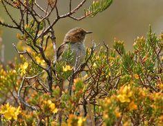 Ocre de ceja thistletail (Asthenes coryi) de aves en la vegetación de matorrales | la Colección de Internet Bird | HBW Alive