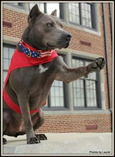 Elle the Pit Bull - 2013 Therapy Hero Dog