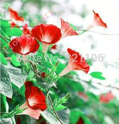 200 Scarlet Morning Glory Seeds   DIY Home Garden Vine Plant, Gorgeous Color,Free Shipping-in Bonsai from Home & Garden on Aliexpress.com | Alibaba Group