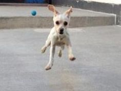 Walter is an adoptable Chihuahua Dog in Philadelphia, PA. Little Walter is a four month old happy-go-lucky puppy who is absolutely full of boundless energy! This sweet & friendly nutty pup is, as best...