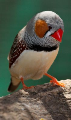 The Zebra Finch is the most common finch of Central Australia and ranges over most of the continent, avoiding only the cool moist south and some areas of the tropical far north.