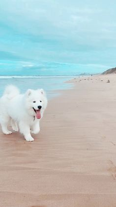 24 Samoyed Saturday Dog Samoyed Photos Who doesnt love cute fluffy dogs and are some of the cutest. Cute Fluffy Dogs, Cute Dogs And Puppies, Funny Puppies, Puppies Puppies, Funny Dogs, Cute Baby Animals, Animals And Pets, Funny Animals, Samoyed Dogs