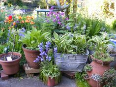 Variety of pots bursting with spring plants, including hostas, bluebells, tulips & succulents.