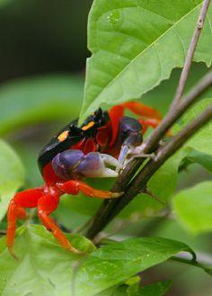 crab - large Costa Rica
