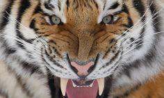 Deep in the Siberian taiga, on the trail of Russia's elusive tigers