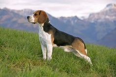 660 Best Beagle Dogs Images In 2019 Doggies Pets Beagle Puppy