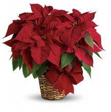 Red Poinsettia from Allen's Flower Market in Reseda, on sale now!  Poinsettias, Christmas Flowers, Christmas Plants.  http://www.allensflowermarketonline.com/red-poinsettia/