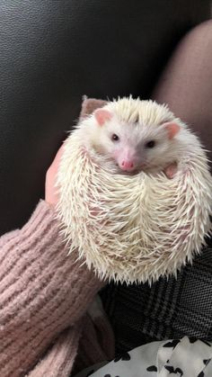 """For information on pet hedgehogs (so-called """"African Pygmy Hedgehogs"""") and wild hedgehogs. Hedgehog Names, Funny Hedgehog, Hedgehog Pet, Albino Hedgehog, African Hedgehog, Hedgehogs Pet Care, Baby Hedgehogs, Beautiful Creatures, Animals Beautiful"""