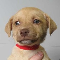 Turtledove is a two-month-old, Terrier blend #puppy up for #adoption in #SanDiego! Sweet and petite!