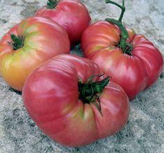 Kolb tomato: from Storm Lake, Iowa    www.seedsavers.org