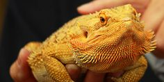 Is your Bearded dragon healthy? The health of our pet Bearded dragons is sometimes something we as owners neglect. To make things even worse, it is known that pet lizards, including Bearded dragons, can hide disease very well. http://www.beardeddragons.co.za/is-your-bearded-dragon-healthy/