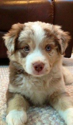 Chloe ~ Australian Shepherd Pup ~ Classic Look.I had a border collie pup I named Chloe this color! Cute Dogs And Puppies, I Love Dogs, Puppy Love, Doggies, Aussie Puppies, Adorable Puppies, Cute Puppy Pics, Fluffy Puppies, Puppies Puppies