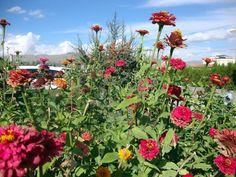 Vê-se poucas flores...estas são zinias...