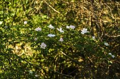 Wild rose bush in the forrest