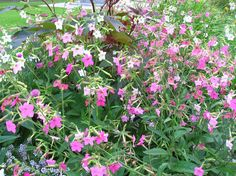 How to grow nicotiana or flowering tobacco