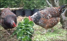 Growing crops to feed your chickens all year long