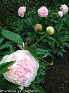 Love peonies? See how to plant peonies so they bloom with these tips and tricks for planting and caring for peonies. Perfect for cut flowers in the spring #LandscapingIdeas #FlowersPlantsLove