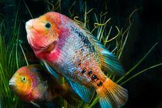 Today in the Fishroom ~ Paratheraps synspilus Cichlid Aquarium, Big Aquarium, Cichlid Fish, Red Fish Blue Fish, One Fish Two Fish, Underwater Creatures, Ocean Creatures, Colorful Fish, Tropical Fish