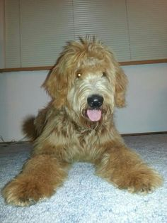 GOLDENDOODLE!! <3 I WILL HAVE ONE SOMEDAY!!!!!!!!!
