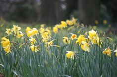 Daffodils galore #pembroke_lodge