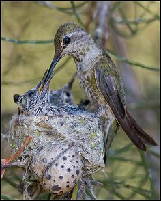 Pets Care - Annas Hummingbird Mother Feeding 15 Day Old Chick, from Growing Up Humming. Photographer Mike Spinak The way cats and dogs eat is related to their animal behavior and their different domestication process. Pretty Birds, Beautiful Birds, Animals Beautiful, Cute Animals, Funny Animals, All Birds, Little Birds, Love Birds, Nester