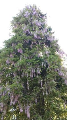 Wisteria Vine covering a dead spruce tree beautiful!