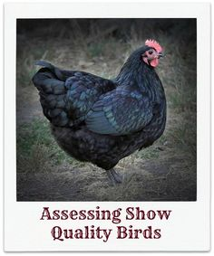 Fancy Poultry 201: breeding to standard, assessing show birds, poultry health, egg packaging.