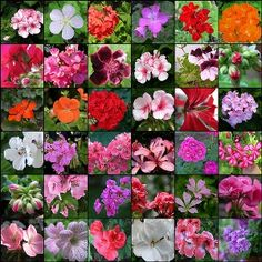 Tips on planting, growing, and caring for geraniums in containers.