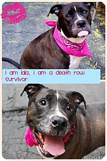 SAFE - New York, NY - Rescue Dogs Rock NYC, American Staffordshire Terrier Mix. Meet LaLa, NYC ACC SURVIVOR, a dog for adoption. http://www.adoptapet.com/pet/13190907-new-york-new-york-american-staffordshire-terrier-mix