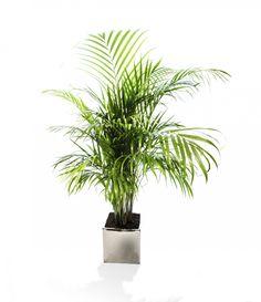 Växter som rensar luften på gifter.