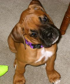 """WHAT DID YOU SAY?  Did I hear you say that baby boxers are the cutest puppies in the world?  I knew that!!""  Fergie Fegilicious as a wee baby. SH"