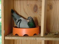 The Breeding Loft Pigeon Nest, Racing Pigeon Lofts, Pigeon House, Homing Pigeons, White Wings, Nature Photography, Loft Ideas, Birds, Pets