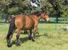 light bay   -   Laban Horse Coat Colors, Bay Horse, Black Pigment, All About Horses, Brown Horse, Draft Horses, Beautiful Horses, France, Horses