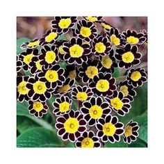 Oh wow! If I have no other flowers in the garden I would love to have some of these to look at all the time. Just lovely!  Bumble Bee Primrose Shade Perennials