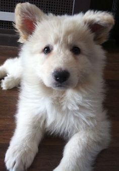 White German shepherd puppy. What an adorable fluffy fuzz ball!
