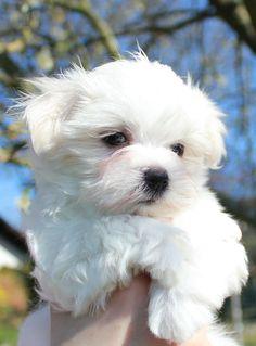 mini maltese puppie!