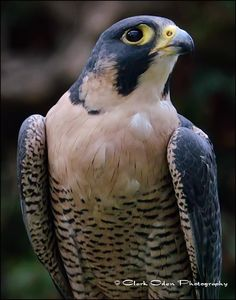 Peregrine Falcon at San Diego Zoo Safari Park by Clark Oden Photography https://www.facebook.com/ClarkOdenPhotography