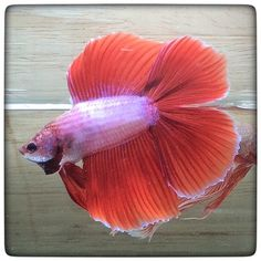 AquaBid.com -  Love valentine double tail