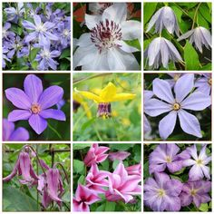 extend your clematis bloom season to spring through fall, with dan long - A Way To Garden Rare Flowers, Small Flowers, Summer Flowers, Flowers Garden, Clematis Trellis, Gladiolus Bulbs, Small Flower Arrangements, Sun Plants, House Plants