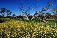 western australian wildflowers - Google Search
