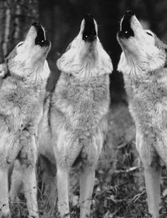 the family that howls together..prowls together