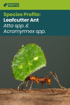 Leafcutter ants practice advanced methods of sustainable agriculture, and operate under one of the most studied social caste systems in the natural world. Rainforest Ecosystem, Poisonous Plants, Forest Floor, Different Plants, Food Staples, Wild Things, Latin America, Natural World, Agriculture